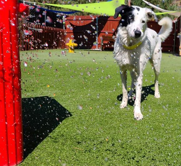 Dog playing in the sprinkler