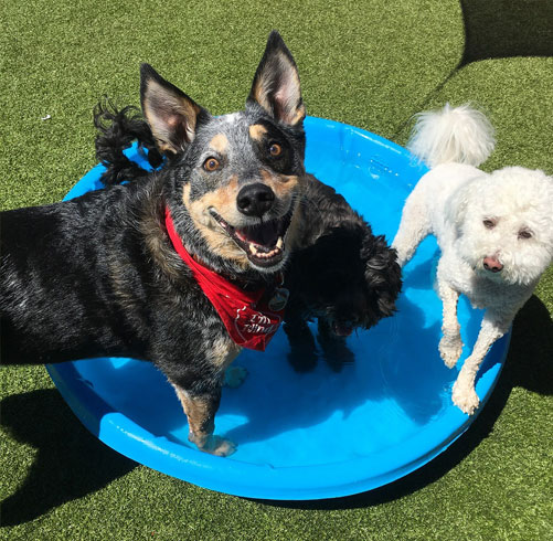 Smiling dogs in a kiddie pool