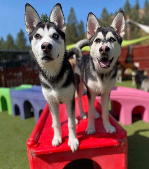 Two huskies out in the yard