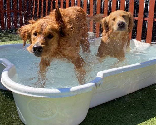 Two golden retrievers in a pool