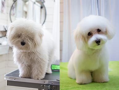 before and after grooming pictures of a white fluffy dog